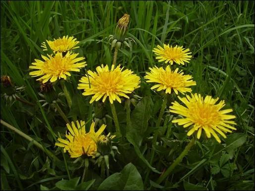 Quelle est cette fleur, dont la plante ne se mange pas par la racine ?