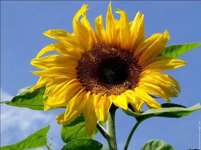 Quelle est cette fleur qui regarde parfois le soleil bien en face ?