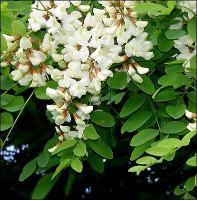Qu'est-ce que  l'acacia  symbolise le plus souvent ?