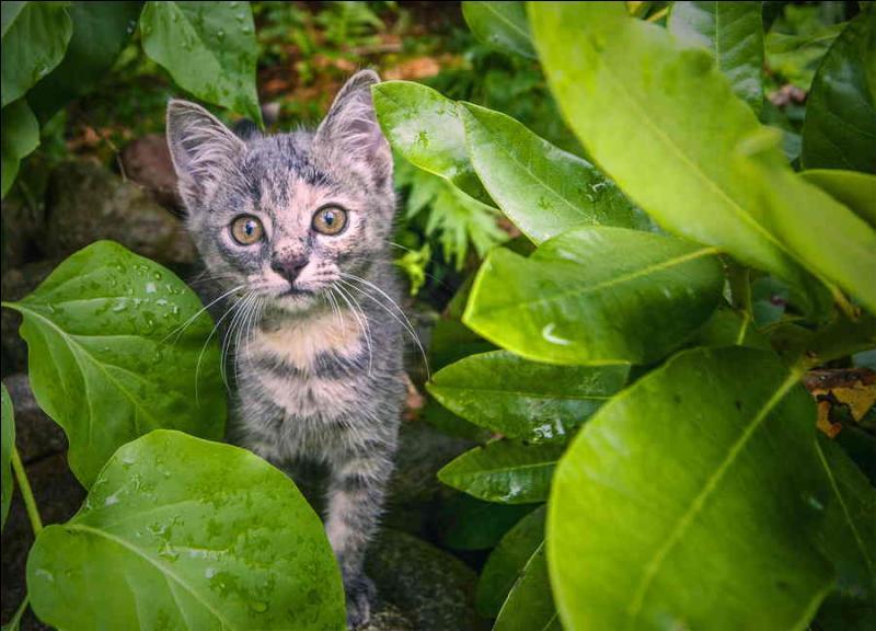 Chez votre chat, que signifie un  miaou  sec et bref, avec la queue droite, à la verticale ?
