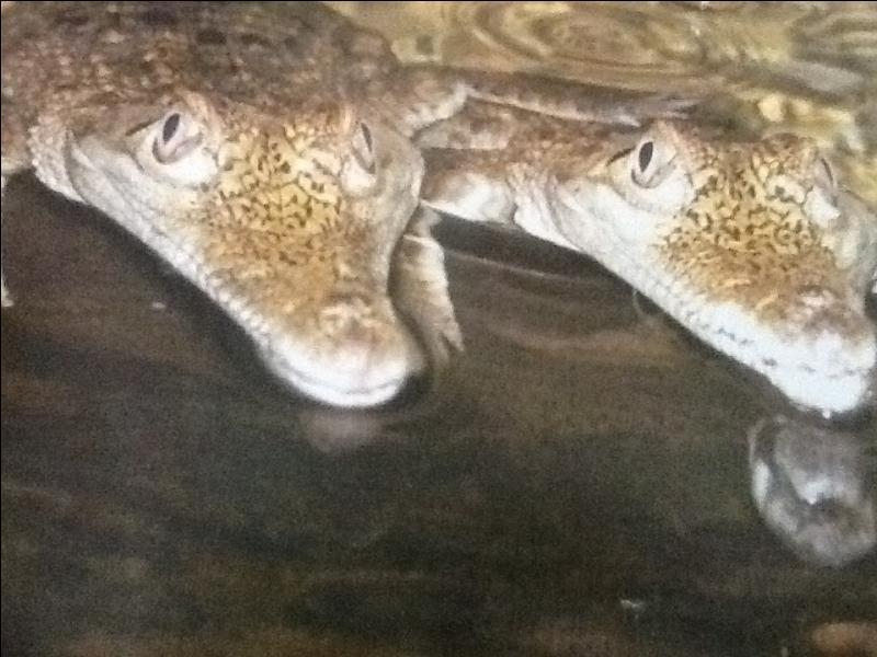 Le bébé crocodile reste longtemps avec sa mère.