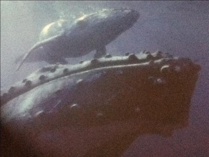 Le baleineau naît près des plages.