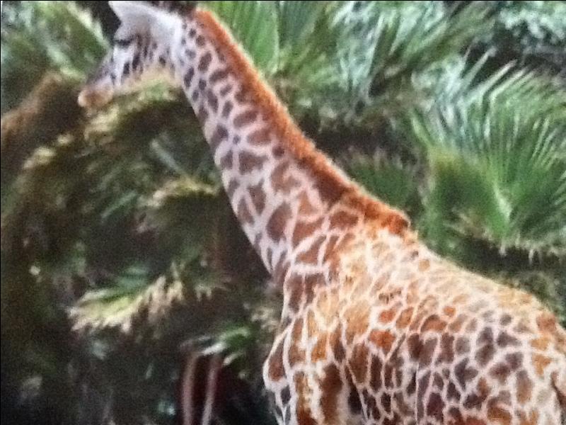 Le girafon mange de la viande.