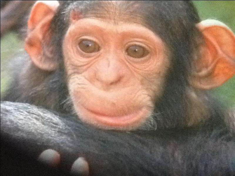 Le bébé chimpanzé s'accroche au ventre de sa maman.