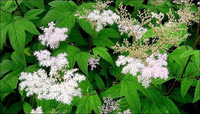 Cette plante médicinale renferme des composés salicyliques aux propriétés anti-inflammatoires et antalgiques. Son nom latin  spireae  est à l'origine du mot aspirine. Qui est-elle ?