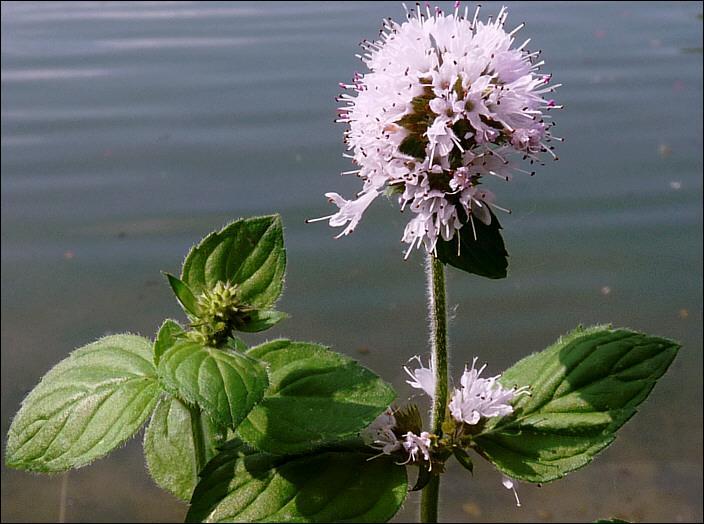On la trouve en Europe dans les lieux humides et frais. Comment s'appelle cette plante très aromatique ?