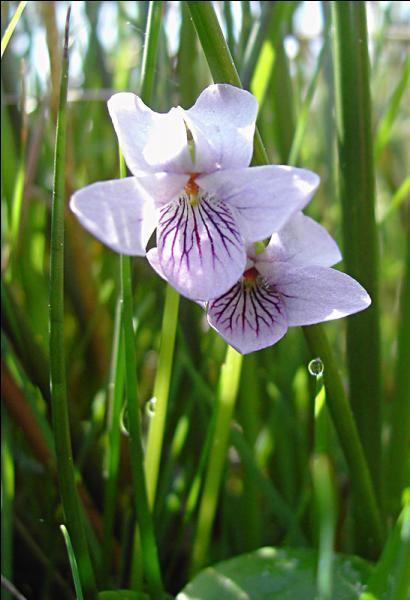 Voici une jolie petite fleur, plutôt montagnarde, on peut la rencontrer dans les endroits marécageux. Ses feuilles sont glabres et arrondies. C'est...