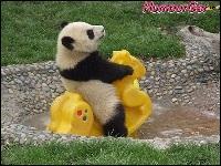On pourrait utiliser l'excrément du panda pour fabriquer du biocarburant :