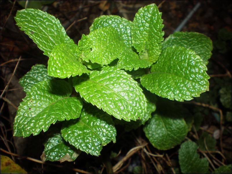 Quizz des plantes qui sentent bon quiz fleurs plantes nature - Comment planter de la menthe ...