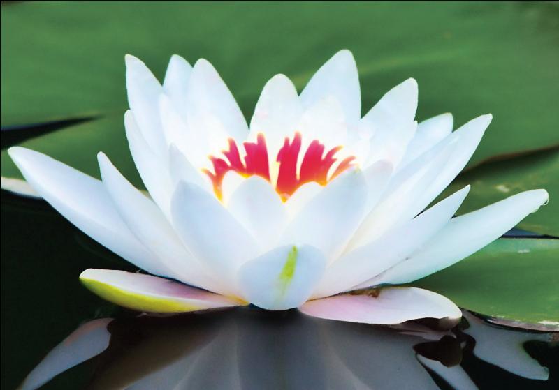 Quel est le nom de cette fleur sublime et très symbolique en Orient ?