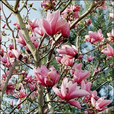 Quel est le nom de cet arbre ou arbuste qui a été acclimaté en Europe mais n'en est pas originaire ?