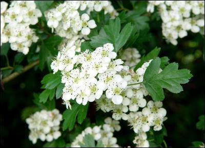 Quel est cet arbuste épineux qui exhale au printemps ?