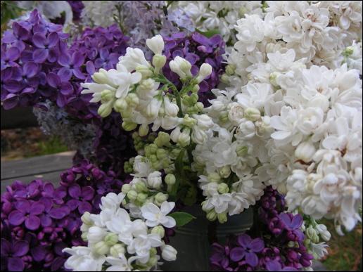 Quel est le nom de cette fleur au parfum sublime et printanier, qui a inspiré un sketch à Fernand Raynaud ?