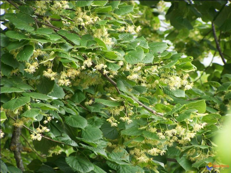 Cet arbre embaume et on utilise ses fleurs en infusion. Quel est son nom ?