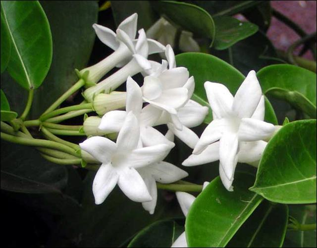 Comment s'appelle cette plante dont on parfume le thé, qui est aussi un prénom masculin un peu démodé ?
