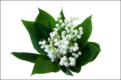 Quel est le nom de cette plante qu'on va cueillir le 1er mai pour porter bonheur à la maison ?