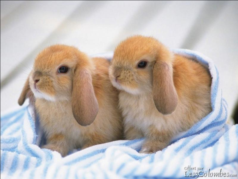 Favorit Quizz Cochon d'Inde et lapin nain - Quiz Lapins, Cochons, Inde DI32