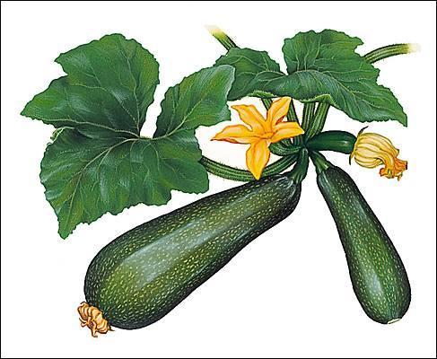 Quel est le nom de cette cucurbitacée, légume d'été, qui peut même être  fleur  ?