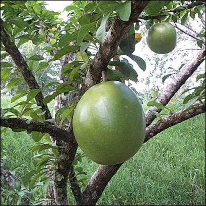 Quel est le nom de cette cucurbitacée, qui sert de récipient dans pas mal de pays ?