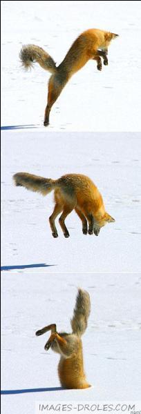 Combien existe-t-il de genres de renards ? (Je ne parle pas de l'espèce)