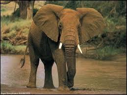 Cet éléphant est :