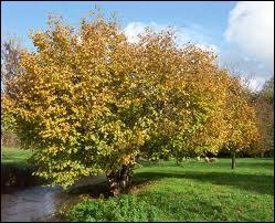 Le coudrier apprécié pour ses fruits, parfois appelés  avelines , est présent dans bon nombre de nos propriétés. Il s'agit d'un ...