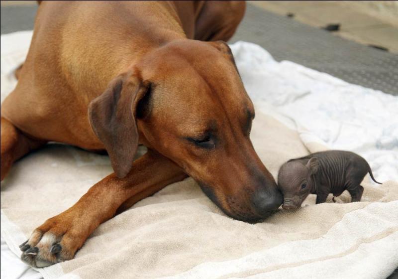 Cette photo, montrant un chien et un porcelet, est truquée !