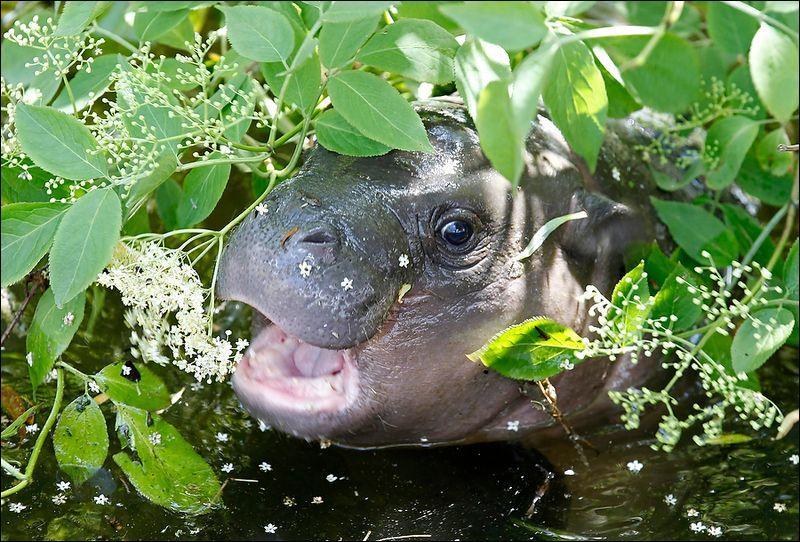 Sur la photo, vous voyez un jeune hippopotame !