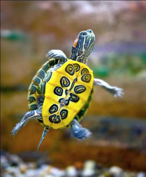Une tortue, comme celle de la photo, adore la salade !