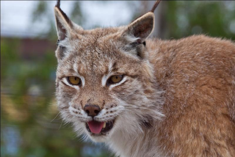 Et là, c'est encore plus facile, c'est un lynx !