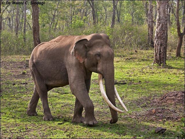 Il est facile à identifier, c'est l'éléphant d'Afrique !