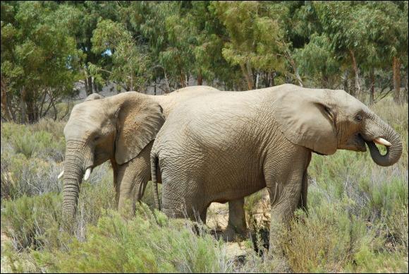 Et là, je vous dis exactement la même chose, c'est l'éléphant d'Afrique !