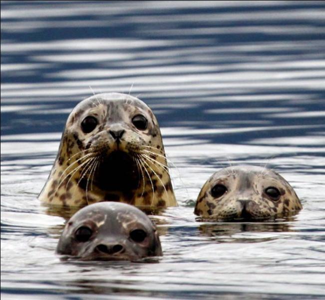 Bien évidemment, je vais vous dire que ces animaux sont des otaries !