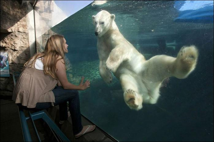 Un grizzly sait très bien nager, comme le fait celui de la photo !