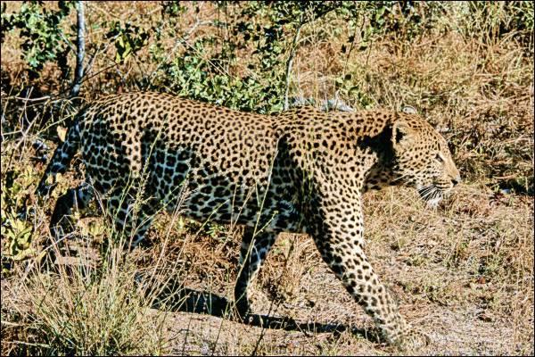 Le plus souvent, le léopard africain préfère chasser la nuit !