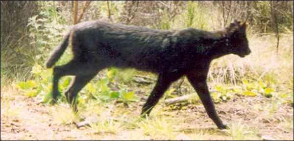 Comme vous le savez, certains servals peuvent être noirs, ce que vous ignorez peut-être, c'est qu'ils vivent en Afrique !