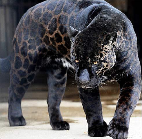Cette photo représente un jaguar noir, en Afrique, il est chassé pour sa fourrure !