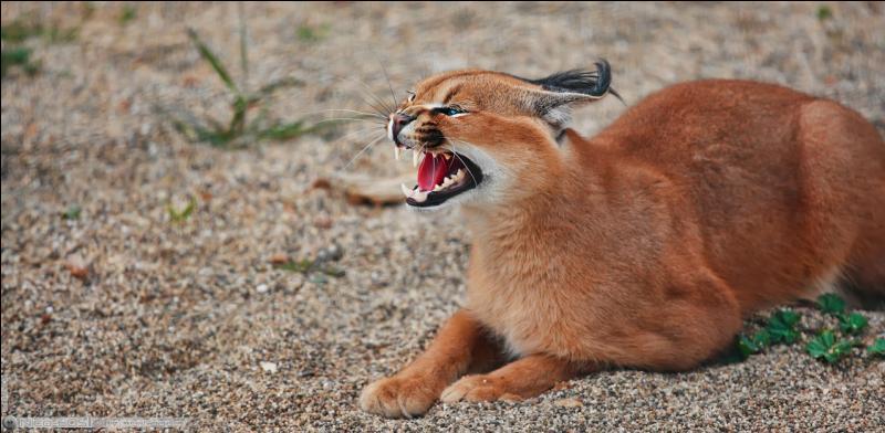 Le caracal ressemble au petit d'un puma qui aurait fauté avec une femelle lynx, mais il est bien africain !
