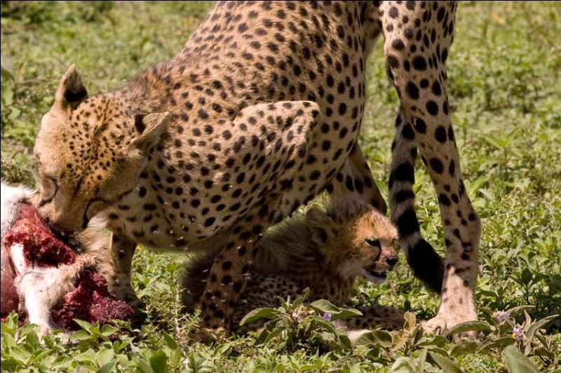 C'est dans les plaines africaines que l'on voit courir le guépard !