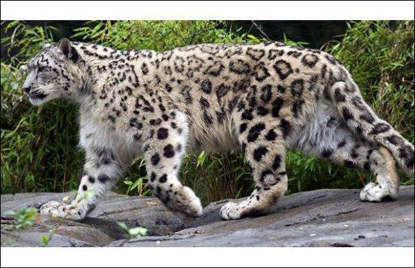 En Afrique, sur les flancs du Kilimandjaro, et avec beaucoup de patience, on peut espérer photographier un léopard des neiges !