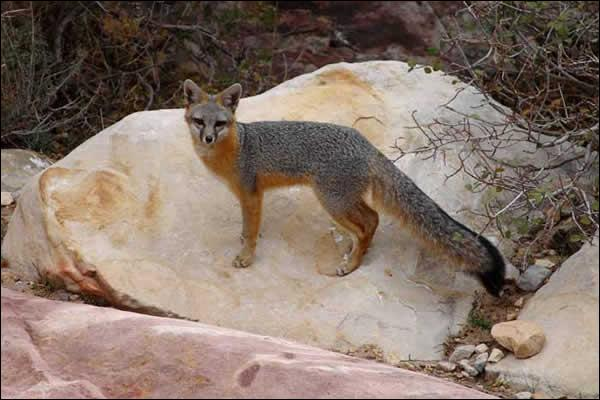 En Afrique, le renard gris suit les troupes de lions, pour profiter des restes !