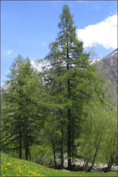 Quel conifère originaire des régions tempérées de l'hémisphère nord est caractérisé par des feuilles caduques ?