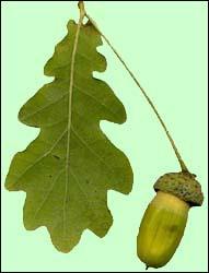 Kermès, tauzin, pubescent, sont autant de termes qu'on peut accoler à quel type d'arbres ?