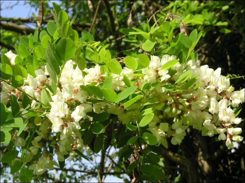 Appelé aussi  faux acacia , cet arbre d'Amérique du Nord fut introduit en France au début du XVIIème siècle. Son nom commun est le :