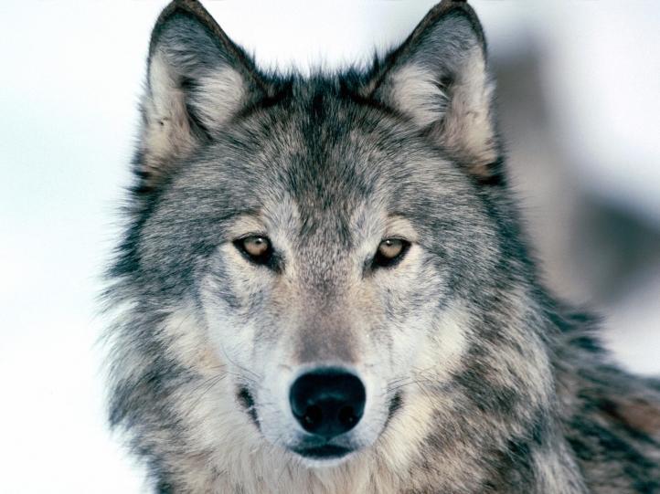 Le loup dans les expressions françaises