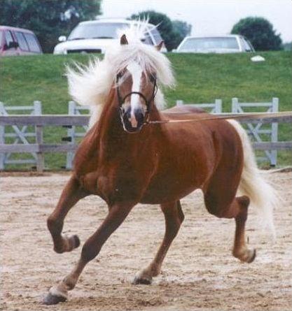 Les races des chevaux et des poneys