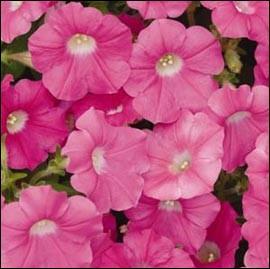 Cette fleur aux vastes clochettes a un feuillage réduit et poilu, un peu collant. Il s'agit... ?
