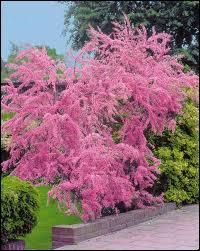 Cet arbre de plumetis rose fut célébré par l'écrivain Colette notamment. Quel est son nom ?
