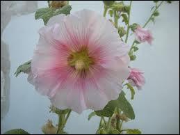 On la rencontre encore dans les jardins, où on la repère par sa très haute taille. Quelle est cette plante champêtre à très grosses fleurs ?