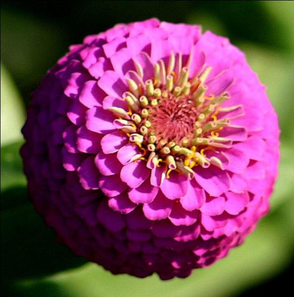 Cette très jolie fleur semble déborder de pétales tant elles sont nombreuses et serrées. La voici en rose puissant, comment s'appelle-t-elle ?